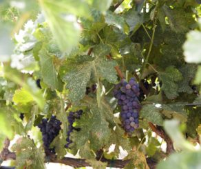 Grape Cluster on Vine