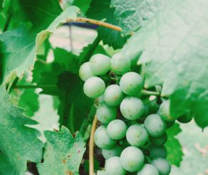 Green Grape Cluster