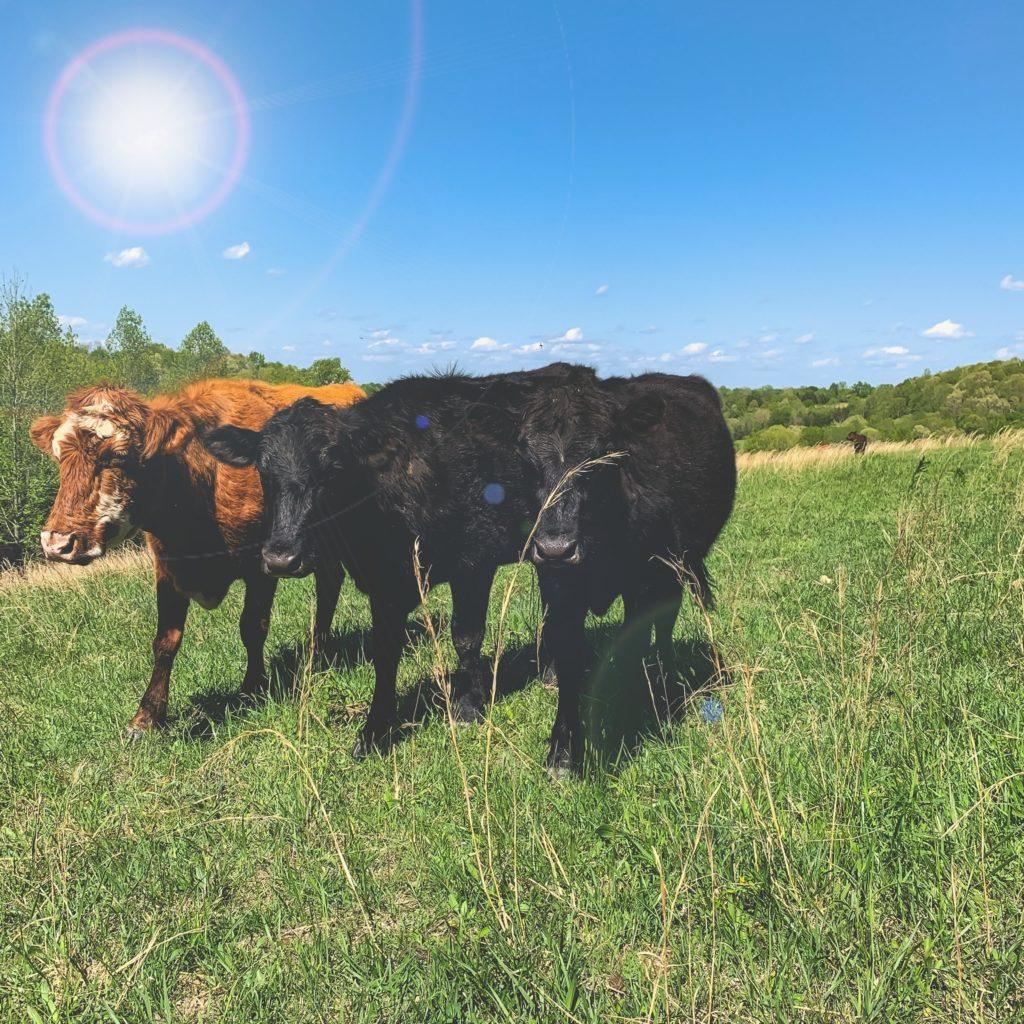 Cows in a field on farm.