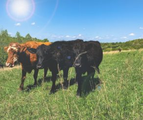 Barefoot Farmers Cows